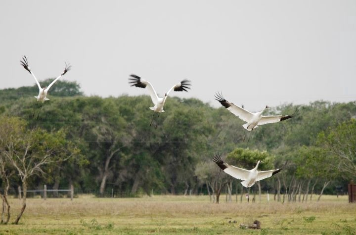 Whooping cranes on private land in Texas.