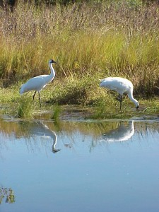 Whooping cranes in Aransas NWR marsh.
