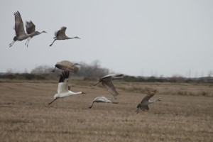 Whooping crane with sandhill cranes in Texas rice field.     Photo by:  Leanne Sliva