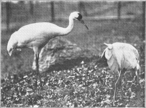 """Photo was taken at """"WHOOPING CRANES IN THE ZOOLOGICAL PARK """""""