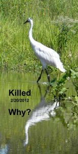 Whooping crane single  Killed -Why
