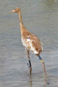 Whooping Crane Tracking Partnership