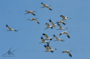 Whooping cranes (16) by Mike Umscheid 121109_105916