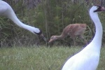 Whooping Crane chick with parents