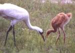 whooping_cranes_feeding.jpg