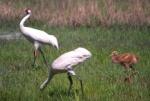 whooping_cranes_walking.jpg