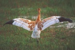 Whooping Crane first flight