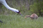 Whooping Crane feeding chick